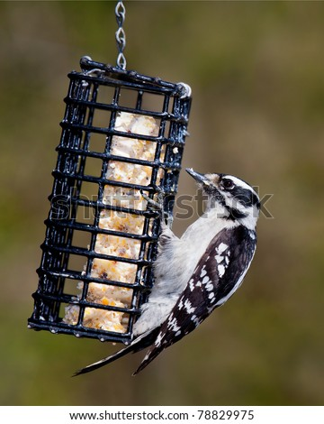 downy woodpecker hangs onto a metal suet feeder. Beak is filled with suet, shallow focus green and brown background - stock photo