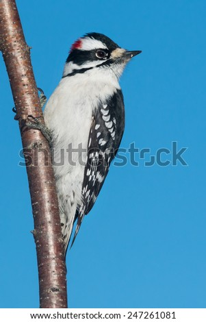 Downy Woodpecker perched on a branch. - stock photo