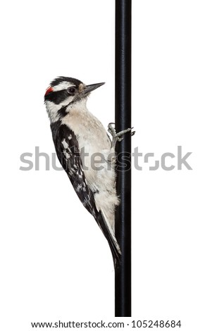 Downy woodpecker perches himself on a shepherd hook. Profile of red, black and white bird as he stares directly into the pole. On a white background.