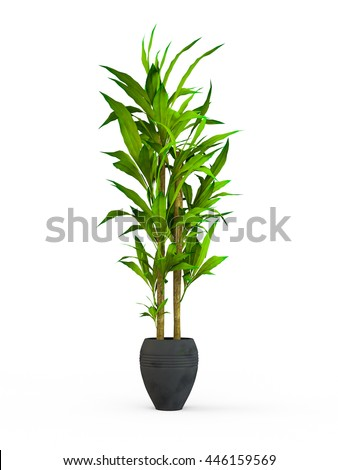 Dracaena braunii plants in flowerpot. Bamboo House plate in the pot isolated on white background. 3D Rendering, Illustration.