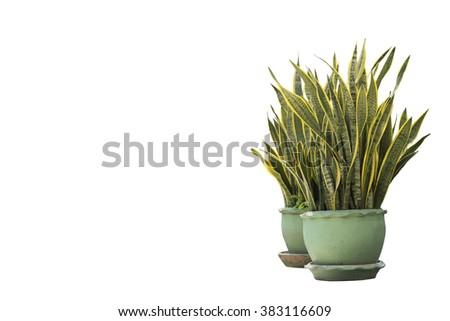 Dracaena house plant in flower pot - stock photo