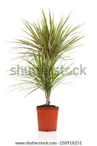 Dracaena in a pot on a white background - stock photo