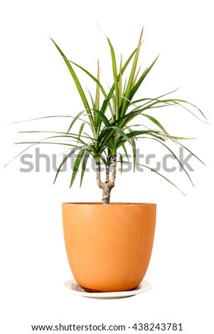 Dracaena marginata a potted plant isolated on white background - stock photo