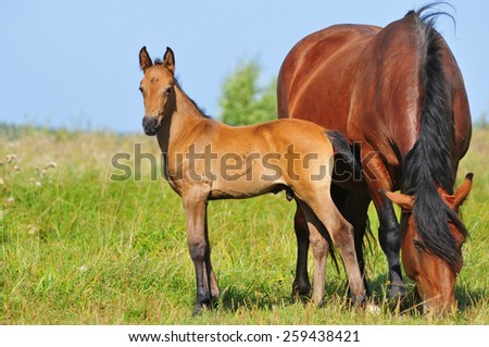 draft mare and foal in summer pasture - stock photo