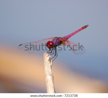 Dragon fly - stock photo