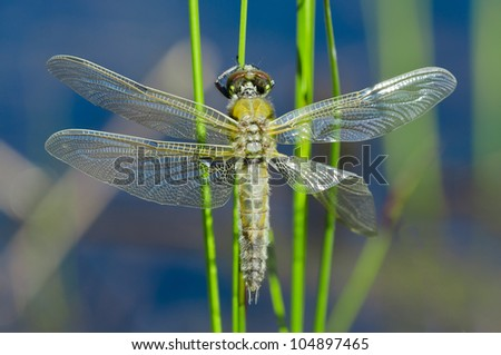Dragon fly hanging on a straw in it's natural habitat close to a lake - stock photo