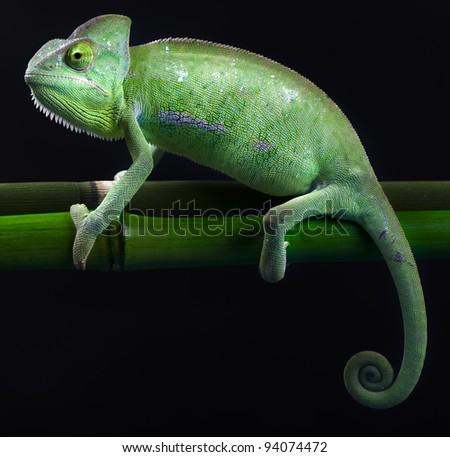 Dragon, Green chameleon - stock photo