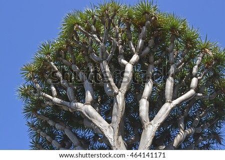 Dragon Tree (Dracaena draco) in Funchal, Madeira, Portugal.