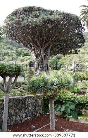 dragon tree,Tenerife island  - stock photo