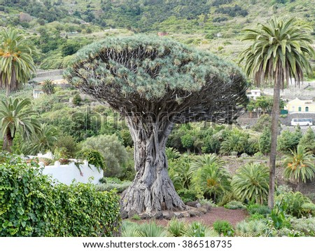 dragon tree,village Icod Los Vinos,Tenerife island - stock photo