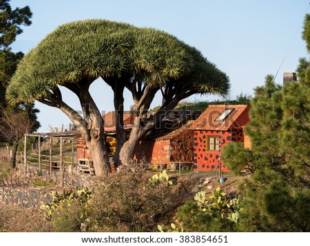 Dragon tree with red house at La Palma Canary Islands - stock photo