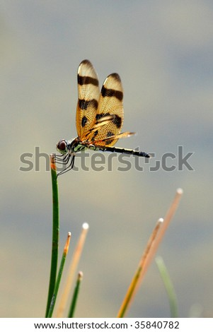 Dragonfly at Everglades - stock photo