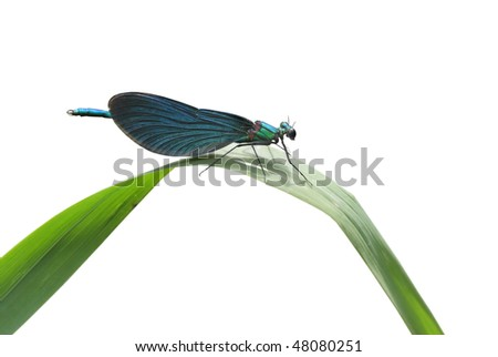 Dragonfly beauty on white background - Calopteryx splendens