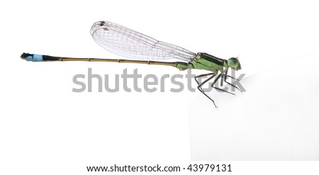 Dragonfly, Coenagrionidae, in front of white background, studio shot - stock photo