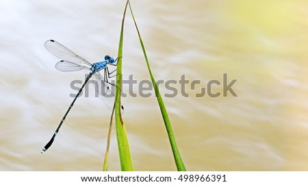 Dragonfly/Dragonflies of Thailand/Dragonfly rest on green grass leaf