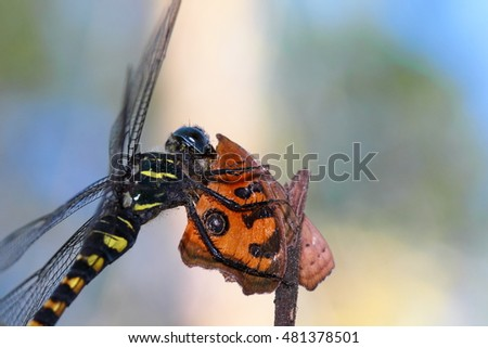 Dragonfly eating a butterfly prey