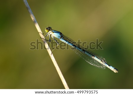 dragonfly - Enallagma cyathigerum