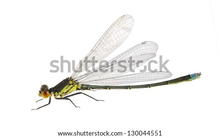 Dragonfly Erythromma najas (male) on a white background - stock photo