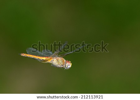 Dragonfly flying with the wings