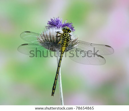Dragonfly Gomphus flavipes (female) on a plant - stock photo