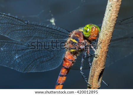 Dragonfly in Chae Son National Park Thailand.Dragonfly,Damselfly, insect,animal,-Focus on eyes.