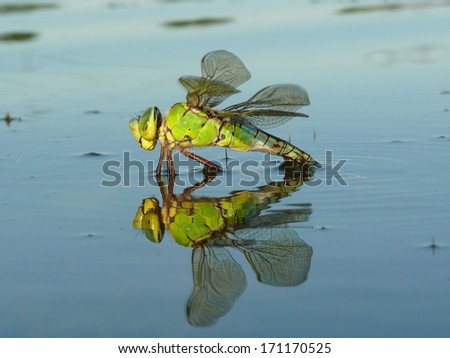 Dragonfly lays eggs in the water pond
