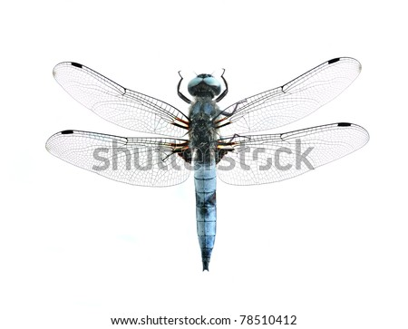 Dragonfly Libellula fulva (male) on a white background - stock photo