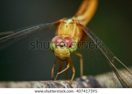Dragonfly,  Macro dragonfly, dragonfly eyes,insect, animal, nature,macro,bug. - stock photo