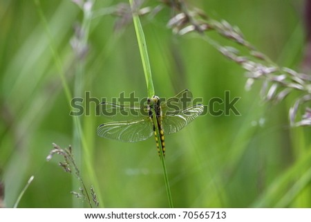 dragonfly marshes of France in its natural environment
