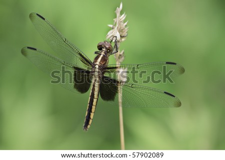 Dragonfly on a grass stem - stock photo