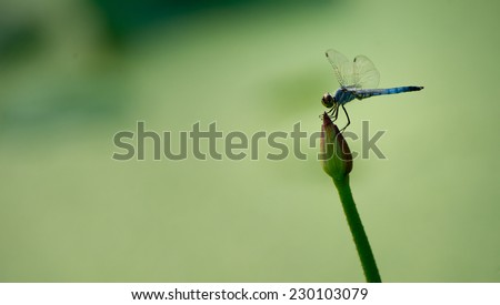 Dragonfly on the Lotus Flower  - stock photo