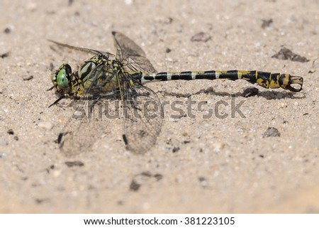 Dragonfly Onychogomphus forcipatus Small Pincertail Green-eyed Hooktail Kleine Zangenlibelle