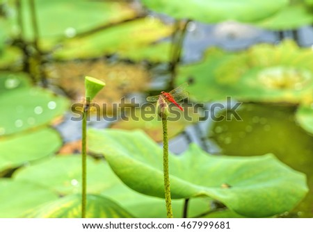 Dragonfly rest on lotus bud, selective focus.