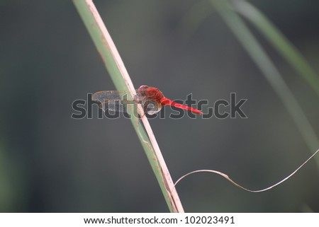 Dragonfly resting on cane - stock photo