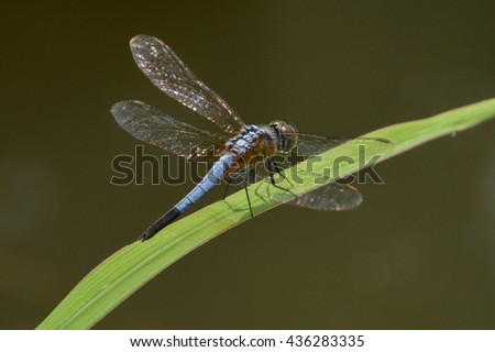 dragonfly resting on grass leaf in selective focus with blurry background