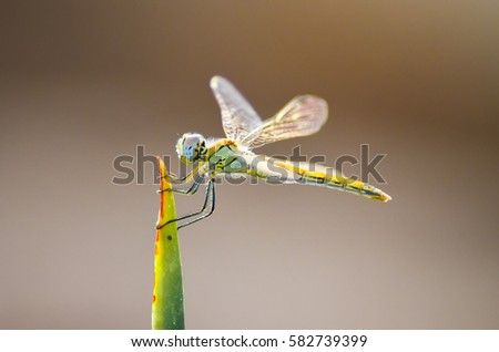 Dragonfly sits on the tip of green leaf.