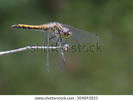 Dragonfly sitting on a branch Dragonflies are predators, well flying insects=E. Slim, attractive beauties and at the same time voracious predators.