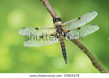Dragonfly sitting on a twig - stock photo