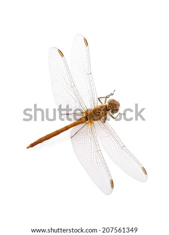 Dragonfly Southern Skimmer (female) (Orthetrum brunneum) isolated on white - stock photo