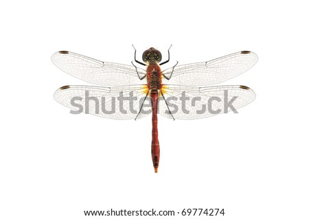 Dragonfly Sympetrum sanguineum (male) on the white background. - stock photo