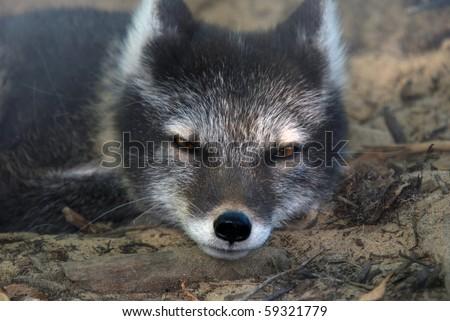 Dramatic close-up portrait of an arctic fox - stock photo