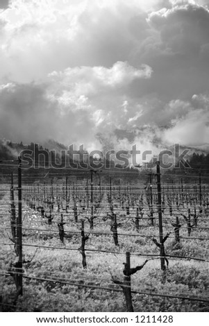 Dramatic clouds hang over a vineyard wet with fresh rain. - stock photo