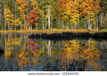Dramatic fall foliage of red maples and yellow birches cast reflections on water of Quincy Bog in the White Mountains, Plymouth, New Hampshire.