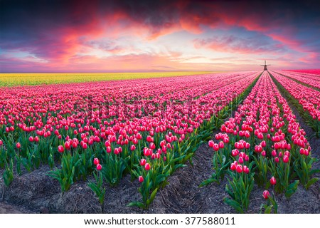 Dramatic spring scene on the tulip farm. Colorful sunset in Netherlands, Europe. - stock photo