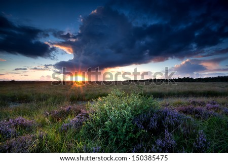 dramatic sunbeams over swamp with flowering heather - stock photo