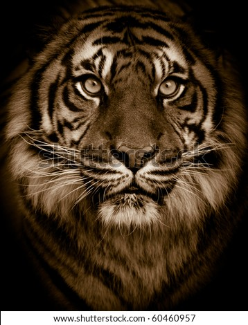 Dramatic tiger portrait - stock photo