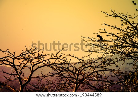 Drametic sunset over mountains with Tree silhouette and a monkey seating on the tree branch
