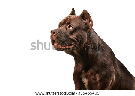 Drawing American Staffordshire Terrier portrait on white background - stock photo