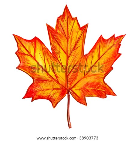 Drawing of maple leaf isolated on white