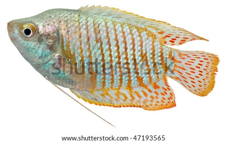 Drawrf Gourami fish isolated in white background